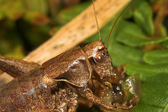 """Dark Bush Cricket (Pholidoptera grise(2) • <a style=""""font-size:0.8em;"""" href=""""http://www.flickr.com/photos/57024565@N00/236023367/"""" target=""""_blank"""">View on Flickr</a>"""