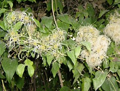 Clematis vitalba (monika & manfred) Tags: vienna urbannature mm homeagain utatathursdaywalk21 autumnhascome