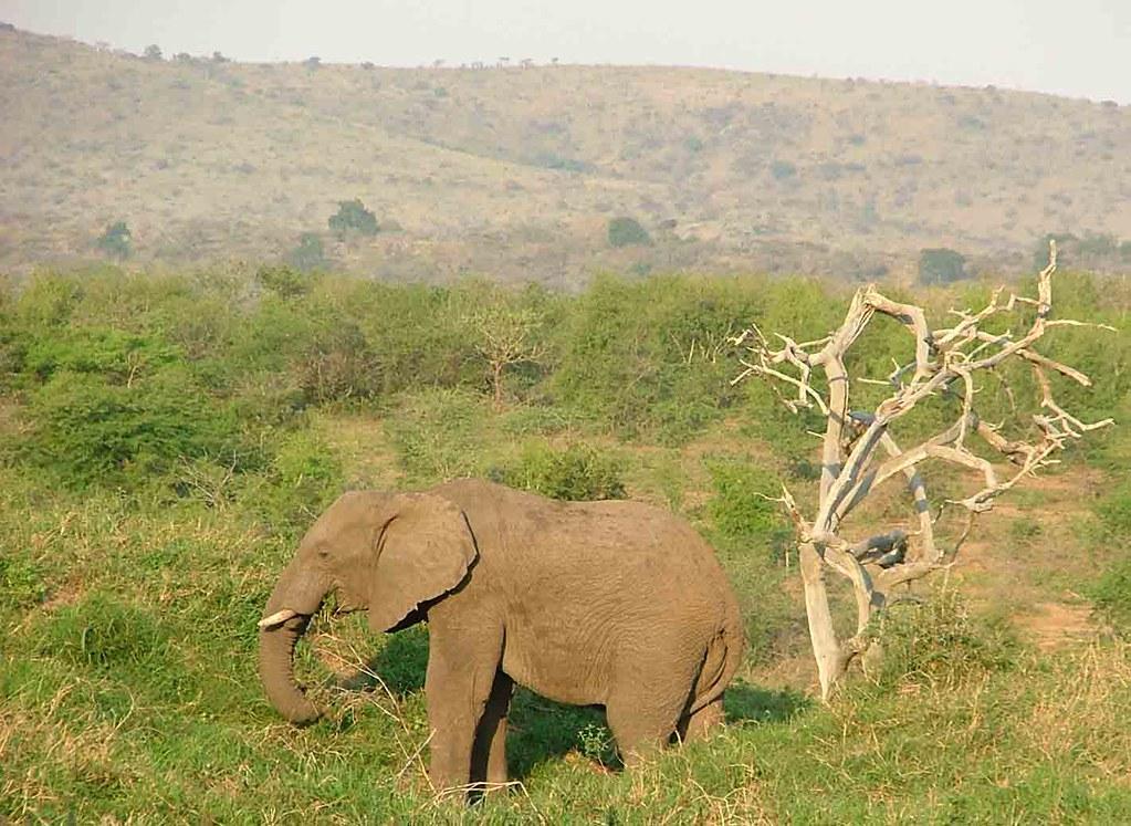 olifant (Hluhluwe Umfolozi Park)