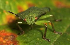 "Green Shield Bug (Palomena prasina)(5) • <a style=""font-size:0.8em;"" href=""http://www.flickr.com/photos/57024565@N00/238484891/"" target=""_blank"">View on Flickr</a>"