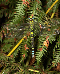 "Southern Hawker Dragonfly (Aeshna cya(2) • <a style=""font-size:0.8em;"" href=""http://www.flickr.com/photos/57024565@N00/241499417/"" target=""_blank"">View on Flickr</a>"