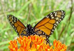 Butterfly (coveman) Tags: flower butterfly coveman butterflyweed