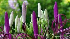 Purple Queen (JenniferNelms) Tags: white flower green nature floral botanical interestingness jen purple queen 48 cleome spiderflower purplequeen cleomehasslerana interestingness48 i500 mywinners abigfave chezbaer jenatl