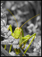 Do you want my portrait ? (Lionoche) Tags: macro topf25 bravo grasshopper sauterelle saltamontes gafanhoto heuschrecke interestingness18 i500 judgmentday60 abigfave minoltaaf100macro springslot