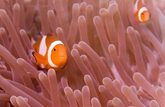 Double Vision (- drsteve -) Tags: pink orange topf25 500v20f pair scuba diving fv5 malaysia borneo animalkingdomelite abigfave cotcbestof2006