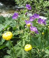 Day Five- Kingcups and Geraniums (Velvet Selkie) Tags: flower spain espana geranium pyrenees ordesa kingcup