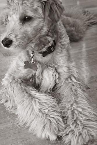 Dog Breeding Stud Finder