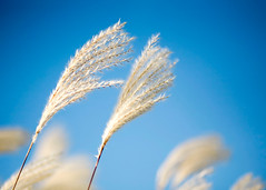 Whispy Winds Move Ornamental Grass (Todd Klassy) Tags: blue cambridge light sky plant motion color colour grass horizontal wisconsin contrast rural garden landscape outdoors stem weed natural wind gardening landscaping country grain fluffy windy blowing bluesky nobody seeds autumncolors simplicity environment grasses roadside ornate wildflower wi vegitation pampasgrass autumncolor selectivefocus tranquilscene zebragrass stockphotography vibrantcolor blurredmotion alergies cortaderiaselloana colorfulautumn colorimage fallseason ruralscene wisconsinautumn ornamentalgrasses beautyinnature miscanthussinensis chinesesilvergrass rightsmanaged inthewind nonurbanscene maidengrass alergy fallinwisconsin decorativegrasses porcupinegrass wisconsinphotographer autumninwisconsin eulaliagrass cambridgewisconsin susukigrass vibrantautumncolors toddklassy wisconsinlandscapephotographer wisconsintravelphotographer
