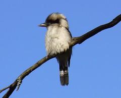 Kookaburra in the Dandanongs (billadler) Tags: bird birds wildlife australia melbourne showcase animalplanet kookaburra dandenongs specanimal animalkingdomelite avianexcellence