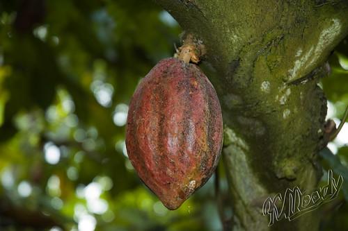 São Tomé - Cocoa pod