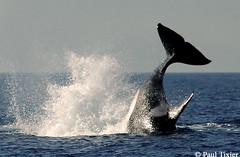 young (Paul Tixier) Tags: britishcolumbia whales orca killerwhale orcas jesters 1on1 helluva animaladdiction nikonstunninggallery specanimal specanimals 1on1photooftheday aplusphoto