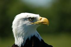American Bald Eagle (Patrick Costello) Tags: bird d50 bravo explore americanbaldeagle outstandingshots hawkconservancy specanimal animalkingdomelite avianexcellence