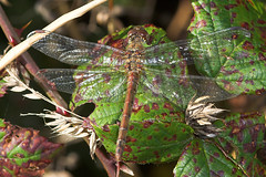 """Common Darter Dragonfly (Sympetrum s(11) • <a style=""""font-size:0.8em;"""" href=""""http://www.flickr.com/photos/57024565@N00/253913221/"""" target=""""_blank"""">View on Flickr</a>"""