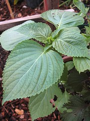 Large Leaf Korean Perilla