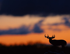 ...Prairie Sentinel... (Random Images from The Heartland) Tags: nature silhouette southdakota ilovenature topf50 bravo searchthebest quality wildlife deer buck specnature