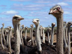 Ostriches in Namibia (geoftheref) Tags: africa travel wild eye nature animal de la interestingness interesting topf50 flickr wildlife 100v10f il ostrich safari afrika namibia ostriches gammy  frica namibie lafrique cotcmostfavorited namibi  animalkingdomelite abigfave geoftheref nambia aplusphoto dellafrica  afrikasafari