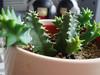 More Tokyo Plastic (Mouldfish) Tags: spiky succulent huernia huerniazebrina toykoplastic