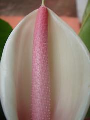 White Anthurium (marlenells) Tags: pink white flower macro topc25 topv111 1025fav textures anthurium araceae aroid maringá naturesfinestalphabet alphabetphotomino