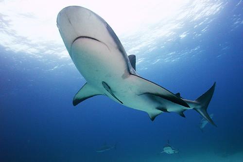 Blacktip Shark and Remora at Nassau, Bahamas