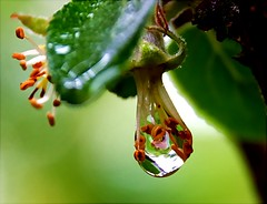 Encapsulated (algo) Tags: water garden photography drops topf50 bravo searchthebest quality topv1111 topv999 drop stamens refraction algo topf100 raindrop refractions iloveit magicdonkey outstandingshots gtaggroup goddaym1