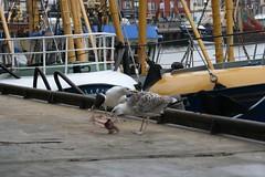 20061008_0223 (dejuffies) Tags: meeuwen kraai