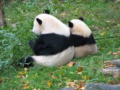 Mei and Mini Mei (Phyl Loves Tai) Tags: animal animals smithsonian panda nationalzoo giantpanda pandas meixiang taishan giantpandas dczoo butterstick