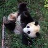 Rollin' (Lisa4414) Tags: bear animal tag3 taggedout zoo cub dc washington october panda tag2 tag1 bears lisa 2006 tai memory shan tot tumble colbert opinion permanent stevencolbert oldglory kiss2 stephencolbert payitforward kiss3 kiss1 scomp