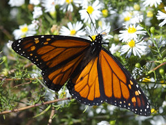 Orange Angel (Hoot Owl) Tags: flowers autumn ny nature butterfly lepidoptera queens monarch daisy jamaicabay jamaicabaywildliferefuge specnature