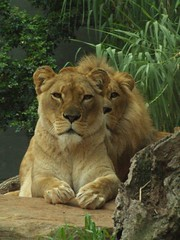 Lions at Taronga Zoo, Sydney - by Vanessa Pike-Russell
