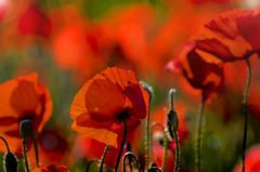 Rouge coquelicot (Doriane Boilly) Tags: coquelicots couleurs rouge champêtre contre jour
