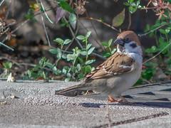 161211_GX7_1460060 (kuad9) Tags: bird