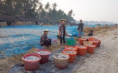 Ngapali Beach (Rolandito.) Tags: myanmar burma birma birmanie birmania asia south east southeast ngapali beach morning fish catch people