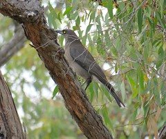 Strepera versicolor versicolo2 (barryaceae) Tags: little desert national park vic victoria ausbird ausbirds strepera versicolor southeastern grey currawong australia