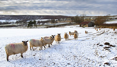 Sheep in Westerdale (Benjamin Driver) Tags: sheep westerdale northyorkmoors yorkshire northyorkshiremoors moors north snow clouds leadingline line field landscape uk unitedkingdom northeastengland eos60d england canon canoneos60d