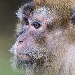 Portrait of a young macaque thumbnail