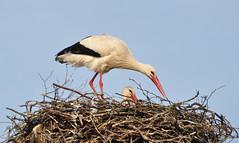Preparing the nest (laurahilhorst) Tags: stork animal storks whitestork animals nest colors sky blue composition nikon nikond5000 netherlands holland autumn chicks