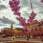 Kungsträdgården Cherry Blossom thumbnail