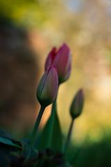 Tulips (tonybill) Tags: chippingcampden fujifilmxt2