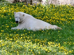 Vera - Charlotte - Eisbären - Tiergarten Nürnberg (ElaNuernberg) Tags: eisbärvera eisbärcharlottealiaslottchen eisbär polarbear ourspolaire orsopolare isbjorn ijsbeer jääkaru niedźwiedźpolarny ursusmaritimus tiergartennürnberg nurembergzoo zoo zooanimals zootiere