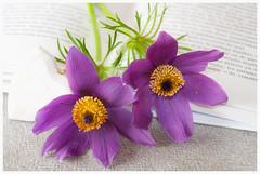 Anémones (Pascale_seg) Tags: lecture fleur flower anémone jardin garden book livre printemps spring romantique romantic marquepage
