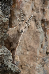 Alpine Ibex (marypink) Tags: parconazionalegranparadiso ceresolereale piemonte stambecco mountains roccia parete valleorco mammalia artiodactyla bovidae caprinae nikond500 nikkor80400mmf4556