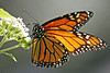 Monarch on Milkweed (Ellsasha) Tags: monarchbutterfly butterflies texas wildflowers colors colours feeding
