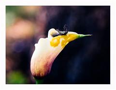 federwerk (rcfed) Tags: hasselblad mediumformat digital fether flower color abstract art