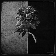 black and white flower (pavelfadeevv) Tags: photo photography mood bw still art color monochrome blackandwhite stilllife beautiful beauty wooden vintage background light drink food fruit berries glass cup flowers nature coffee morning animals landscape
