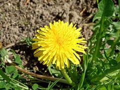 Sun of my life (onnola) Tags: koblenz rheinlandpfalz deutschland germany rhinelandpalatinate frühling spring blüte blossom blume flower sommer summer löwenzahn gewöhnlicherlöwenzahn taraxacum gelb yellow