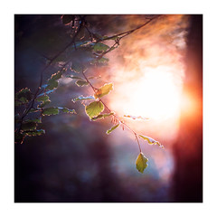 Blickling Woods 6th May 2018 (Matthew Dartford) Tags: eastanglia atmospheric blickling bokeh bokehlicious branch depth flare fog forest glow golden happisburgh leaf leaves norfolk outoffocus sun tree trees trunk woodland woods