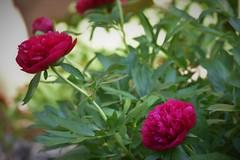 Fleurs de mai... (LOLODUTERRIER) Tags: fleur printemps été rose rouge parfum odeur blanc lilas iris jardin aubépine tulipe