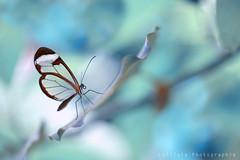 Greta Oto (Lolilola Photographie) Tags: papillon greta oto exotique butterfly blue transparent ailes farfalle