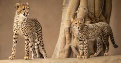 Big Sis and Little Bro (Penny Hyde) Tags: bigcat cheetah cheetahcub cub friends pals sandiegozoo