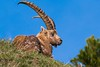 Le songe des cimes (Arnaud LAUGIER) Tags: bouquetin alpes capra ibex ongulés sauvage bovidea caprinés mammals mammifères mammalia faune fauna animal natura nature natural approche libre wild wildlife morning matin moutain montagne printemps spring 2018 mai may sigma 120300mm f28 nikon d5500 tcx14 trépied jeunephotographe youngwildlifephotographer young mâle europe european france alps préalpes rhônealpes